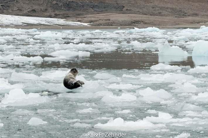 06 02 2014 Ringed Seals