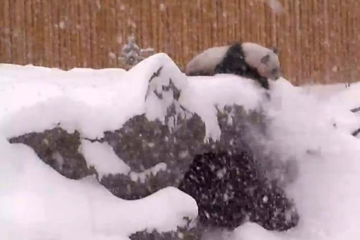 2014 02 07 Panda In Snow