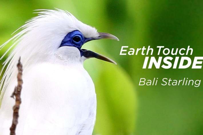 2014 02 10 Bali Starling Videothumb