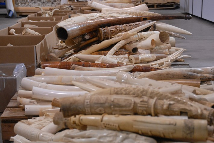 2014 02 10 Seized Ivory Tusks
