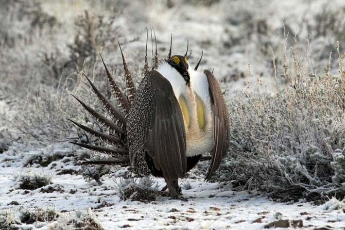 11 02 2013 Greater Sage Grouse Canada