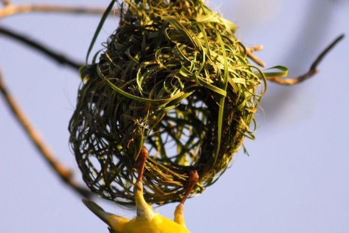 14 02 2014 Weaver Bird Nest Building