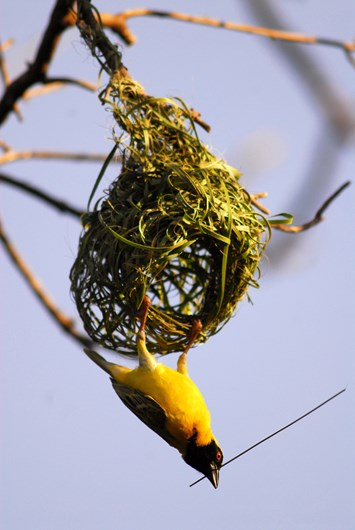 14 02 2014 Weaver Bird Nest Building