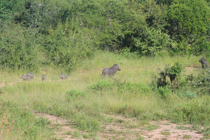 2014 02 18 Warthogs Running From Leopard