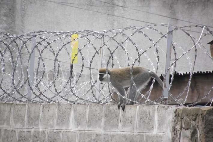 19 02 2014 Urban Monkey Vervet