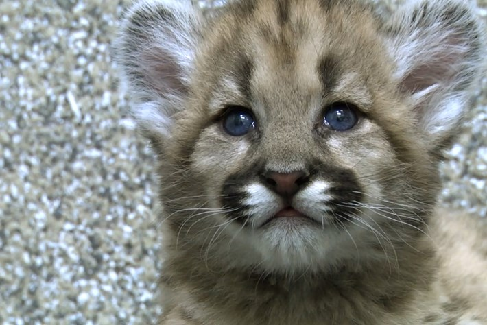 2014 02 20 Rescued Cougar Cubs