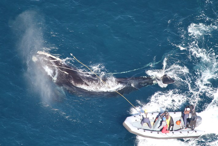 25 02 2014 Entangled Whale Rescue