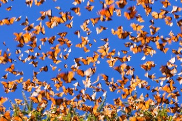 25 02 2014 Monarch Butterfly Migration