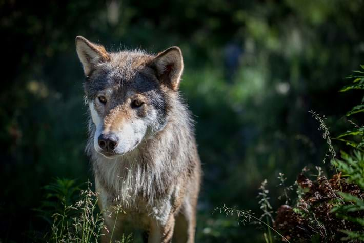 256 02 2014 Eurasian Wolf