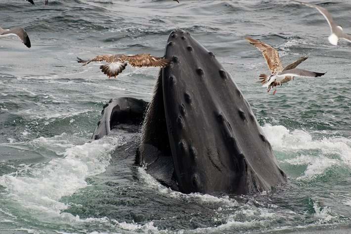 28 02 2014 Humpback Whale Tubercle