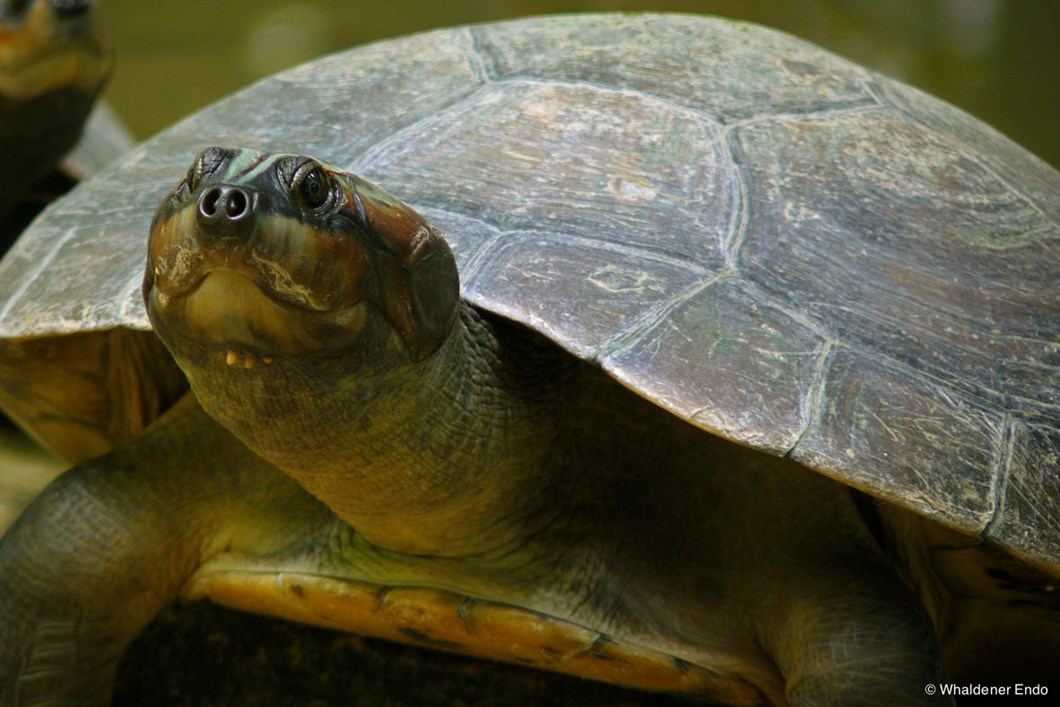 An adult Giant South American river turtle