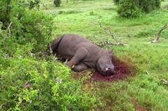 05 03 2014 Rhino Poaching Horns