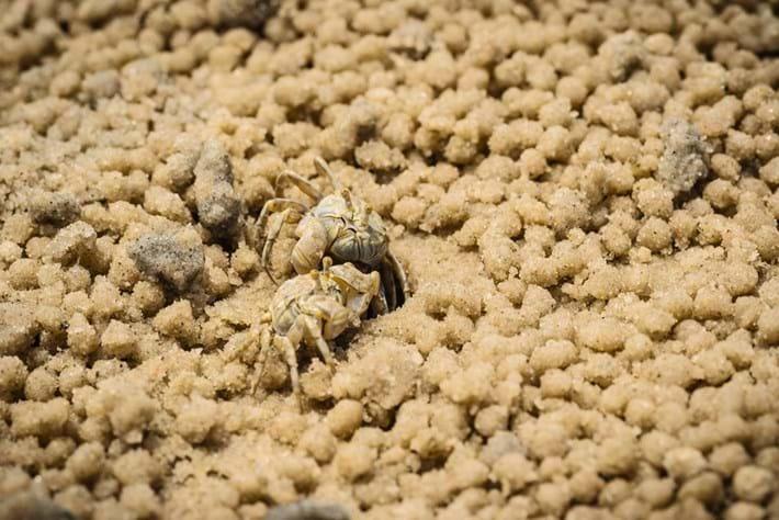 Sand Bubbler Crabs 07 03 2014