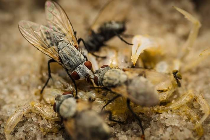 Flies Eating Dead Sand Crab 07 03 2014