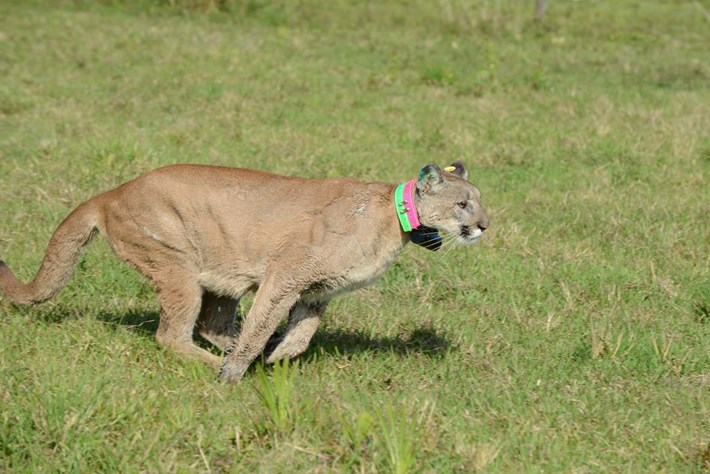 2014 03 11 Florida Panther Release Running