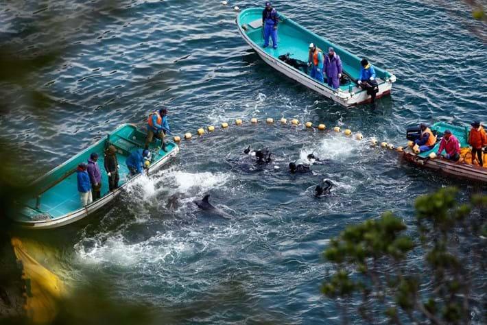 Taiji Dolphin Slaughter 14 03 2014