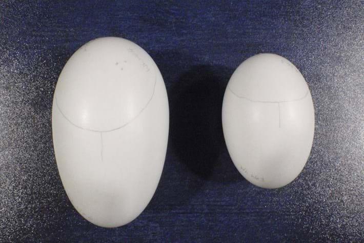 Kiwi Bird Eggs 14 03 2014
