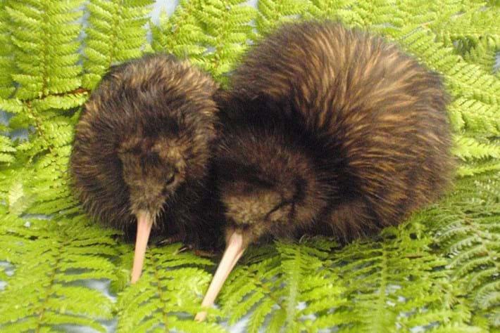 Sibling Kiwi Chicks 14 03 2014