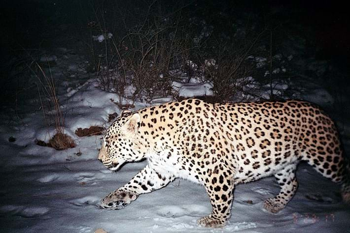 Persian Leopard Iran Camera Trap