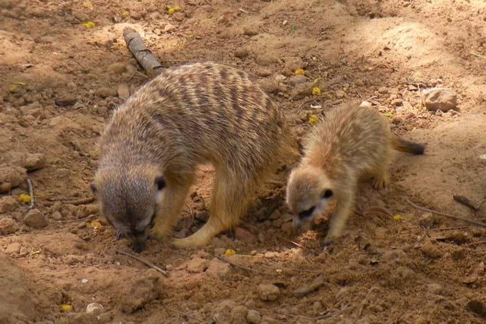 Meerkats Teaching 19 03 2014