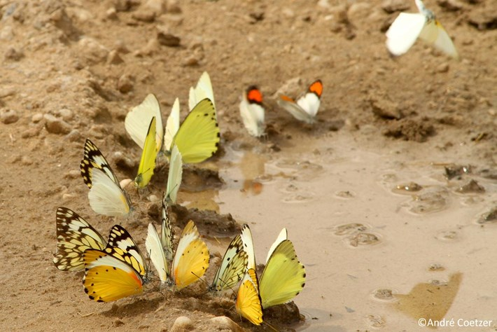 201 03 20 Butterflies Mudpuddling 3