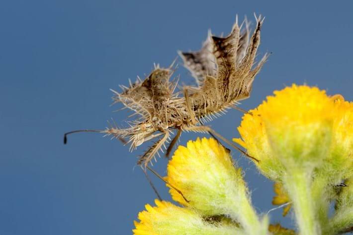 Pephricus1  True Bug 27 03 2014