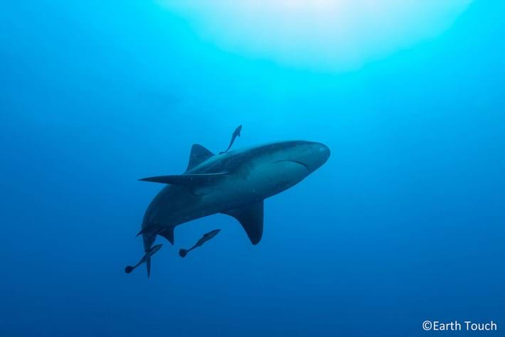 Tiger Shark Earth Touch