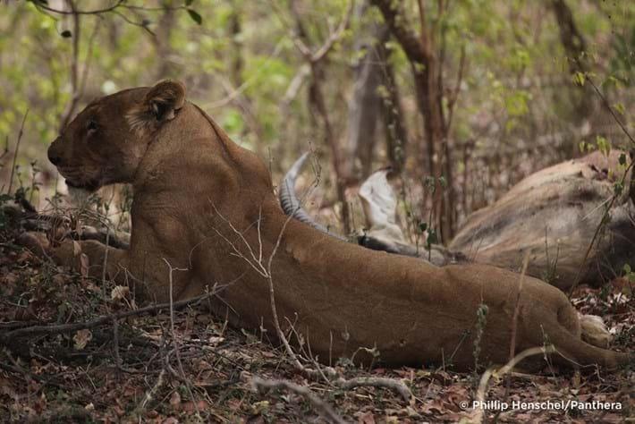 West African Lion Endangered 3