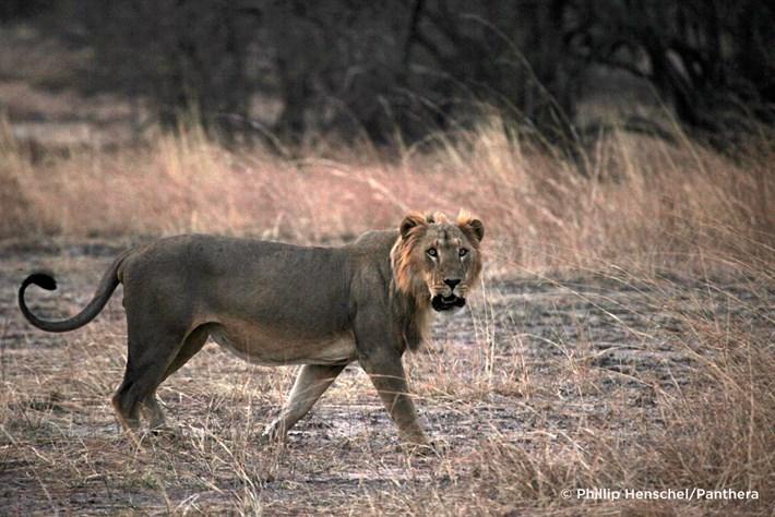 West African Lion Endangered 2