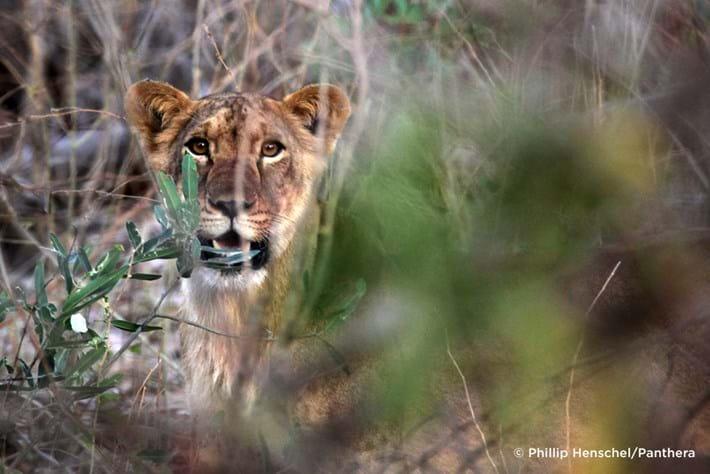 West African Lion Endangered 1