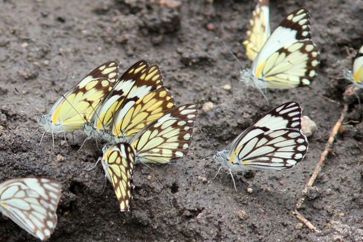 Belenois Aurota Butterfly