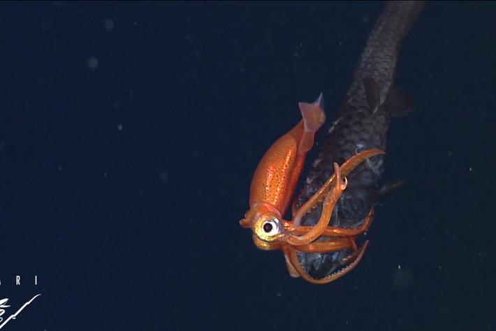 Owlfish Squid Battle MBARI