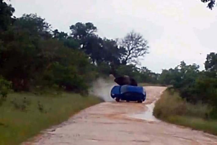 Kruger Elephant Attack