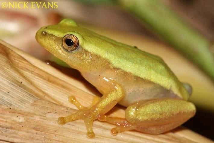 Pickersgills Reed Frog 2