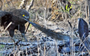Snake eagle meets its match in a snouted cobra (VIDEO)