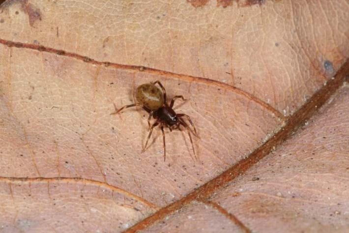 Trapjaw Spider2 2016 04 07