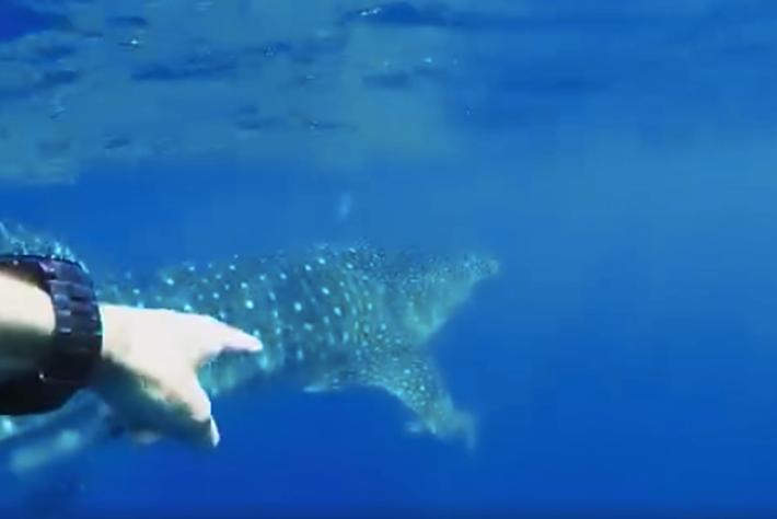 whalesharkroll-2016-4-10