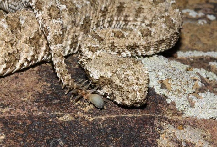 Spider Tailed Viper 2016 04 14