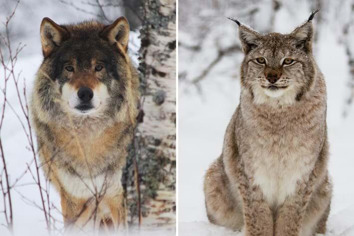 Wolf Lynx 2016 04 14