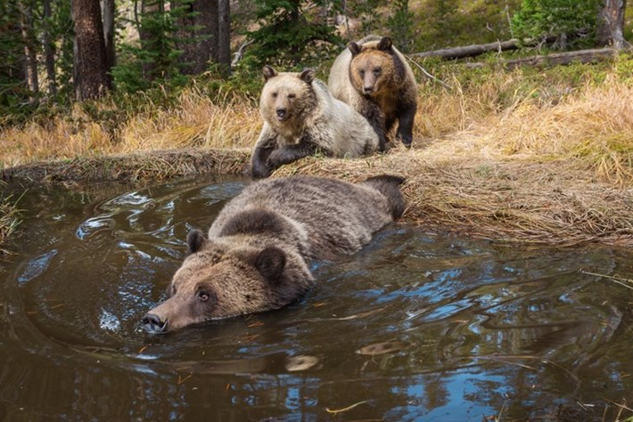 The bear necessities: Grizzly bathtub filmed in Yellowstone National Park
