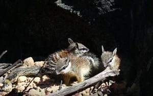 Baby numbats meet the world in one of their last wild habitats (VIDEO)