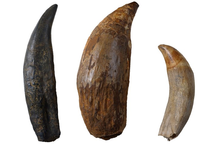 T Rex Extinct Sperm Whale Sperm Whale Tooth 2016 04 22