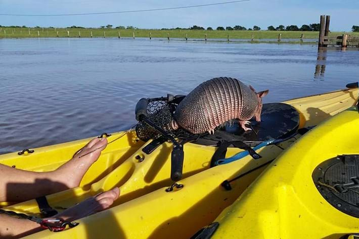 Armadillo In Flood 2016 04 25