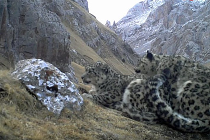 Camera traps capture first clear images of snow leopards mating in the wild