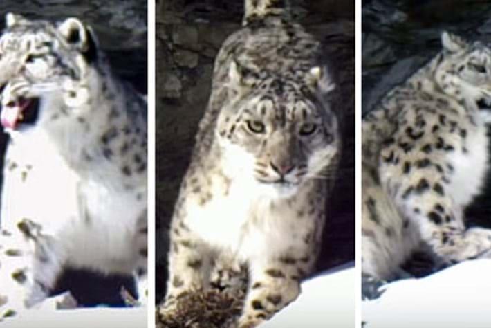 Snow -leopard -family -thumb _2016_04_29
