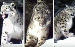 Snow leopard family caught on camera in remote Russian reserve (VIDEO)