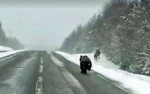 Nothing to see here, just a bear chasing down elk on a highway in Sweden