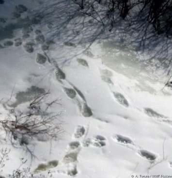 Snow Leopard Footprints 2016 05 03