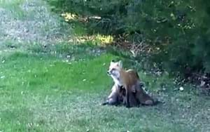 Busy fox momma nurses five kits in Colorado park (VIDEO)