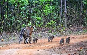 Tiger cubs put on a show in India's Kanha National Park